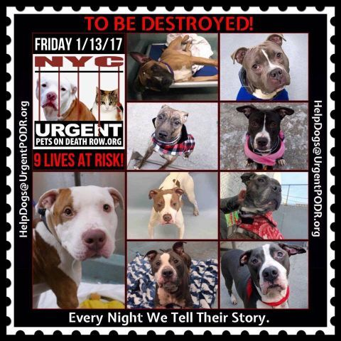 TO BE DESTROYED 01/13/17 - - Info   To rescue a Death Row Dog, Please read this:http://information.urgentpodr.org/adoption-info-and-list-of-rescues/  To view the full album, please click here:http://nycdogs.urgentpodr.org/tbd-dogs-page/ -  Click for info & Current Status: http://nycdogs.urgentpodr.org/to-be-destroyed-4915/