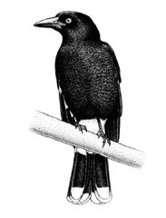 The Seven Seasons of the Kulin people -- Pied currawongs call loudly and often in Poorneet - the tadpole season (September to October). Explore all the seasons at Museum Victoria.