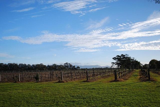 Winter vineyards in Lovedale