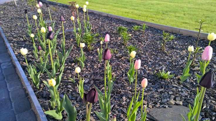 Tulips, Pink Diamond and jal Paul Scherer.