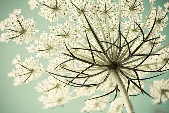 Queen Anns Lace Photograph,  Summer Snowflake, Boho Decor, Shabby Chic Home, Pastel  Flower Photography, White on Turquoise Wall Decor: Pastel, White Flower, Shabby Chic, Gardens, Anne S Lace, Nature Photography, Queen Anne Lace, Lace Flower, Flower Photography