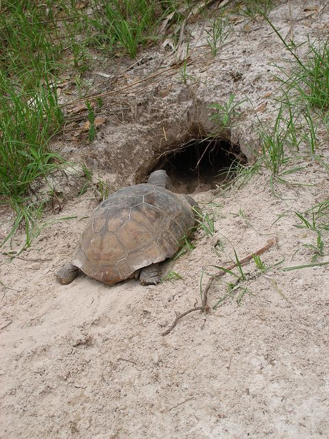 Gopher Tortoise - A state-designated threatened species  MyFWC.com/GopherTortoise