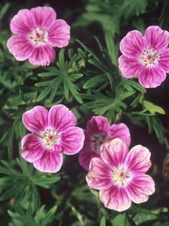 Elke Bloody Cranesbill for sale buy Geranium sanguineum 'Elke'