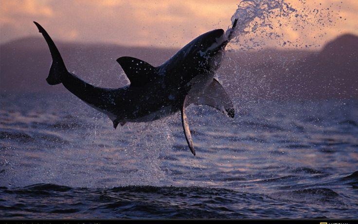 shark jumping - Google Search