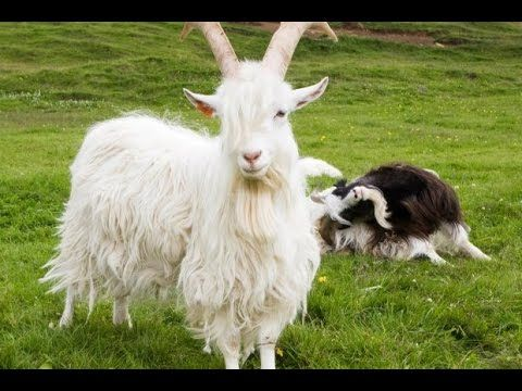 #goatvet loves this slideshow of all goat breeds  from A to Z