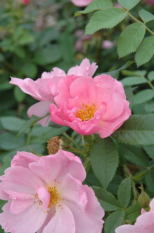 Applejack Rose   Shrub Rose