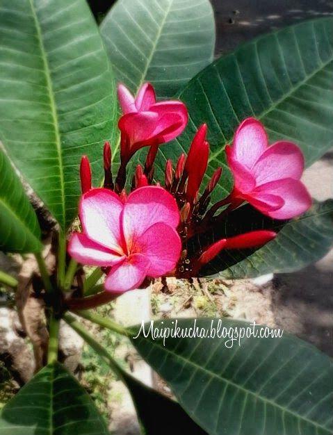maipikucha: Pink Flowers