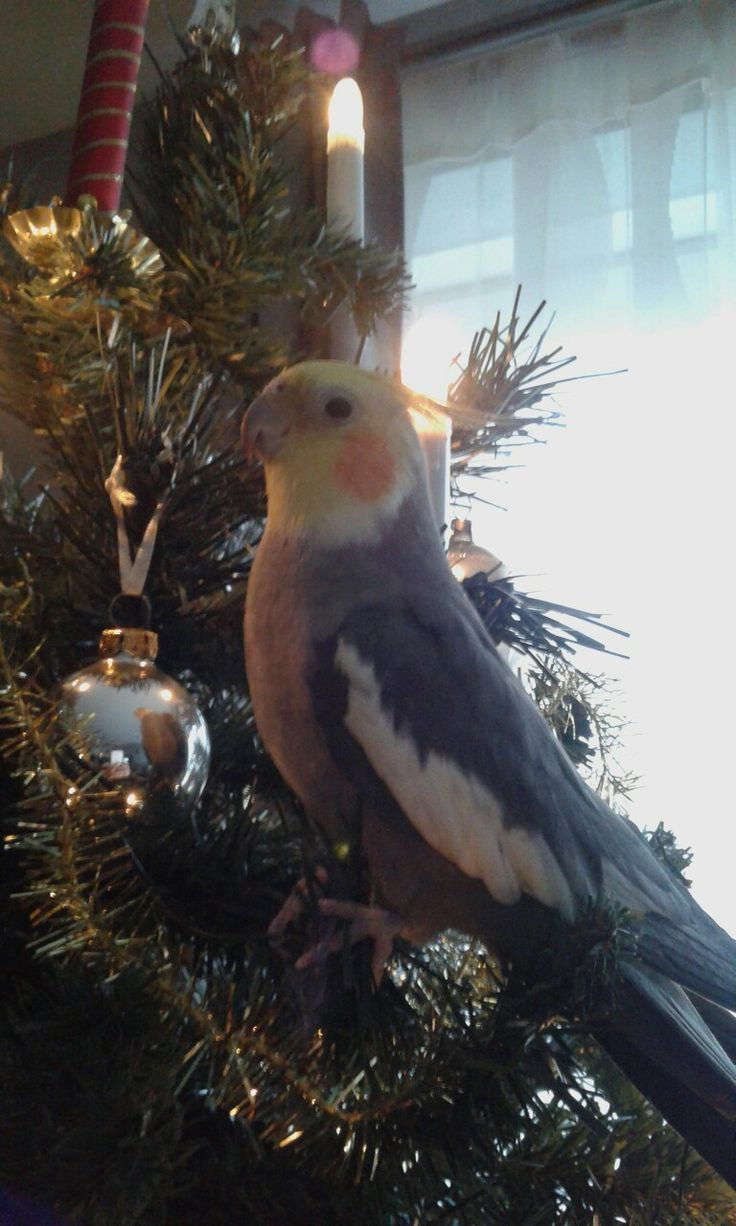 Our bird Dingo likes the tree. Looks like he is looking at himself in the christmasbal