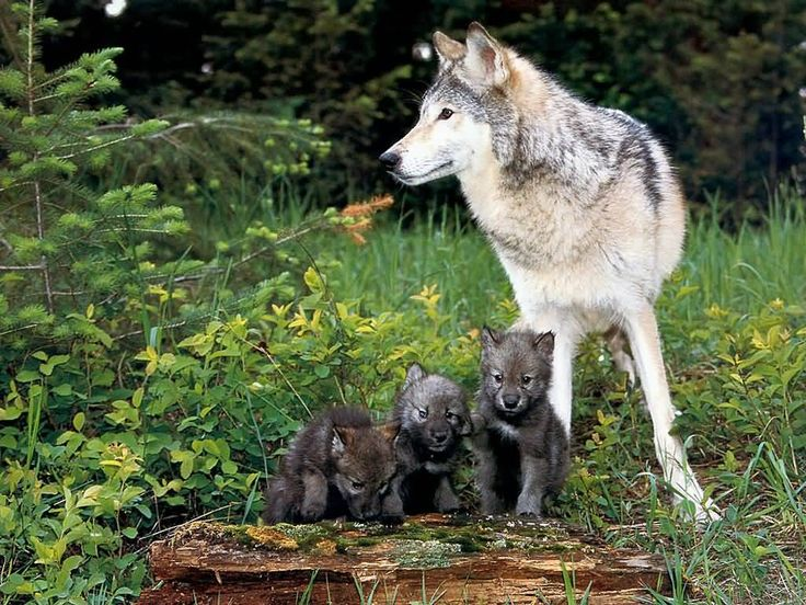 Wolf and Pups.