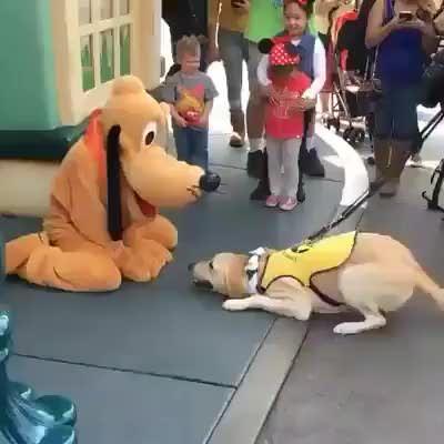 Service dog visits Disneyland.