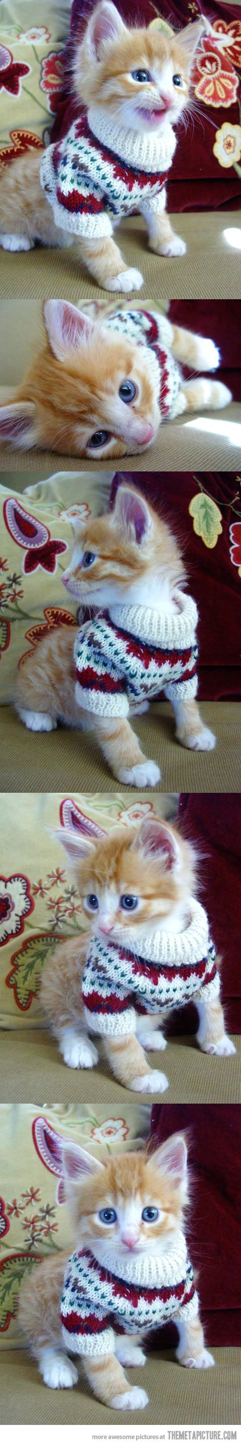 Cat in a sweater is so cute. I hate cats. But omg this is too cute :O I know I posted under my puppies board, but I have no where else to post it lol.