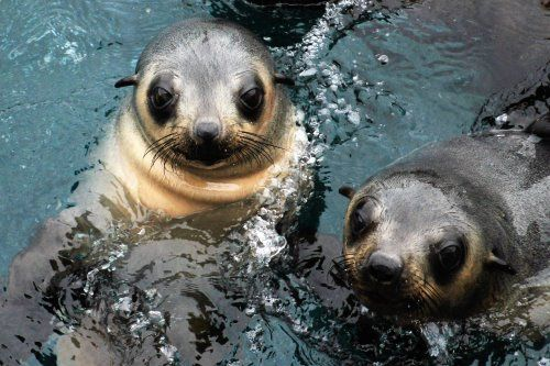 Inquisitive seal pups at seal Rocks, Phillip Island