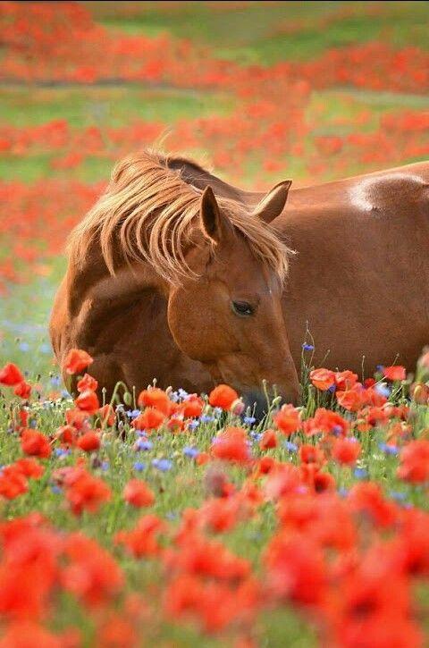 Ein Pferd im Mohnblumenfeld an einem warmen Sommertag. #APASSIONATA