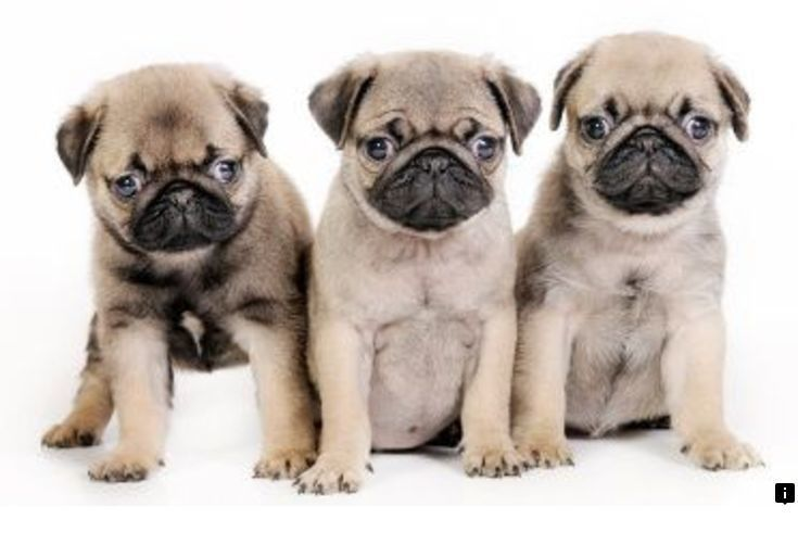 Find Out About Pug Puppies Price Follow The Link To Get More
