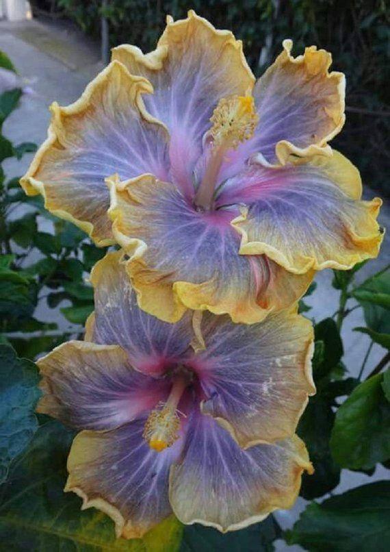 10 Purple Yellow Hibiscus Seeds Giant Dinner Plate Fresh Flower