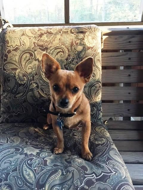 """11/17/16-HOUSTON-""""Such a great little dog!""""  """"No bad habits!""""  """"Easy to love!""""  I mean, those sound pretty good, don't you think? Just a little bit more about me. I'm a little guy with an independent streak. I love to play with toys and other dogs, but love snuggling, too. I really love belly rubs and scratches. Who doesn't, right? I'm also good with being held. I'd be a great accessory for you if you want to carry me in one of those fancy purses.   I know my perfect family is out there."""