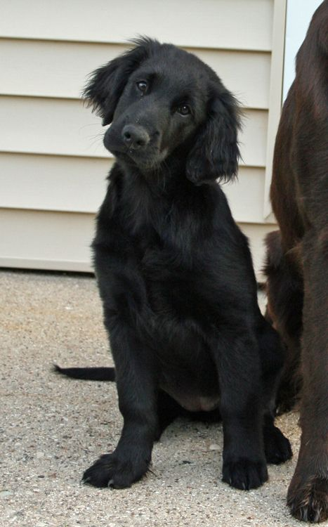 what a cutie- looks like a golden retriever- only black..