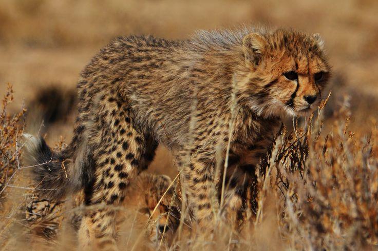 Another view of a Cheetah cub seen near the  Kransbrak Water Hole.