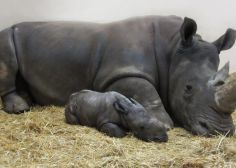 White Rhinoceros Born At Toronto Zoo Is Its 1st In 27 Years