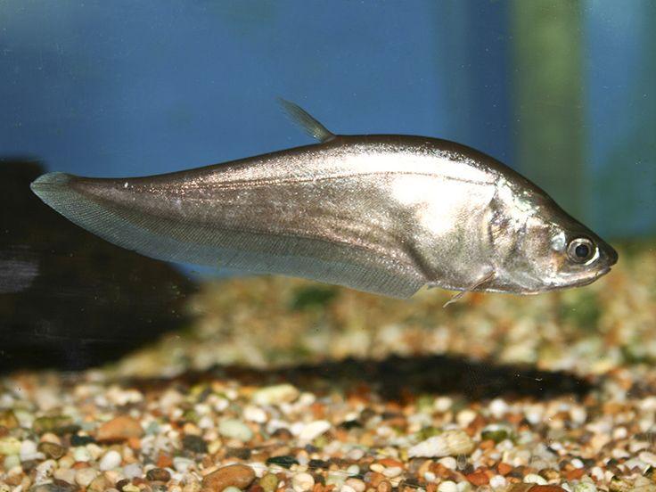 asian fresh water fish