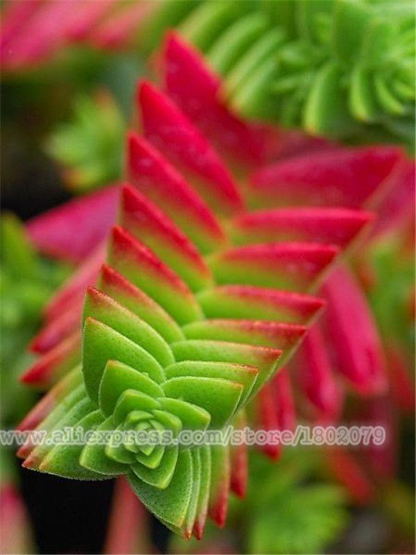 Hot Sale!100PCS succulent seeds,outdoor and indoor perennial bonsai flower Lithops seeds For DIY home garden