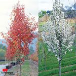 Pyrus calleryana 'Fronzam' Frontier (ornamental pear), 10x4m. I now need a tree capable of growing 10m.