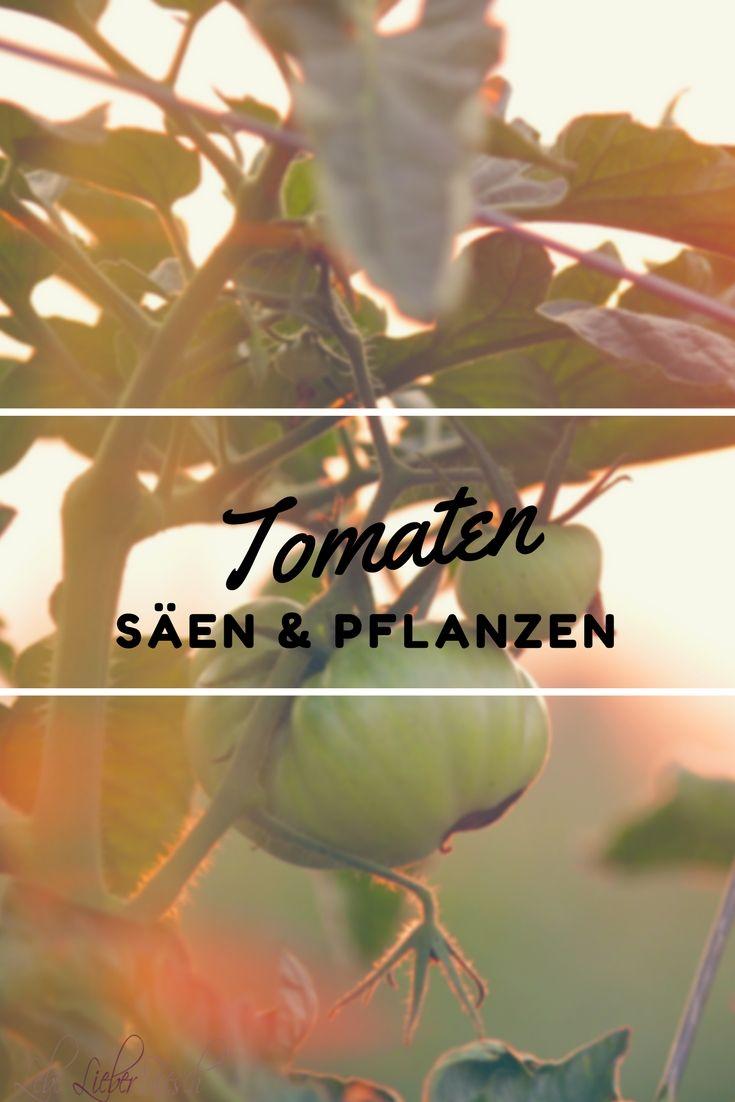 Tomaten säen und pflanzen leicht gemacht https://lelife.de/2016/02/tomaten-saeen-und-pflanzen-leicht-gemacht/