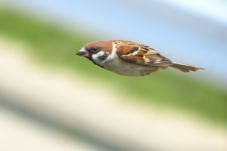 Eurasian tree sparrow (Passer montanus) スズメ