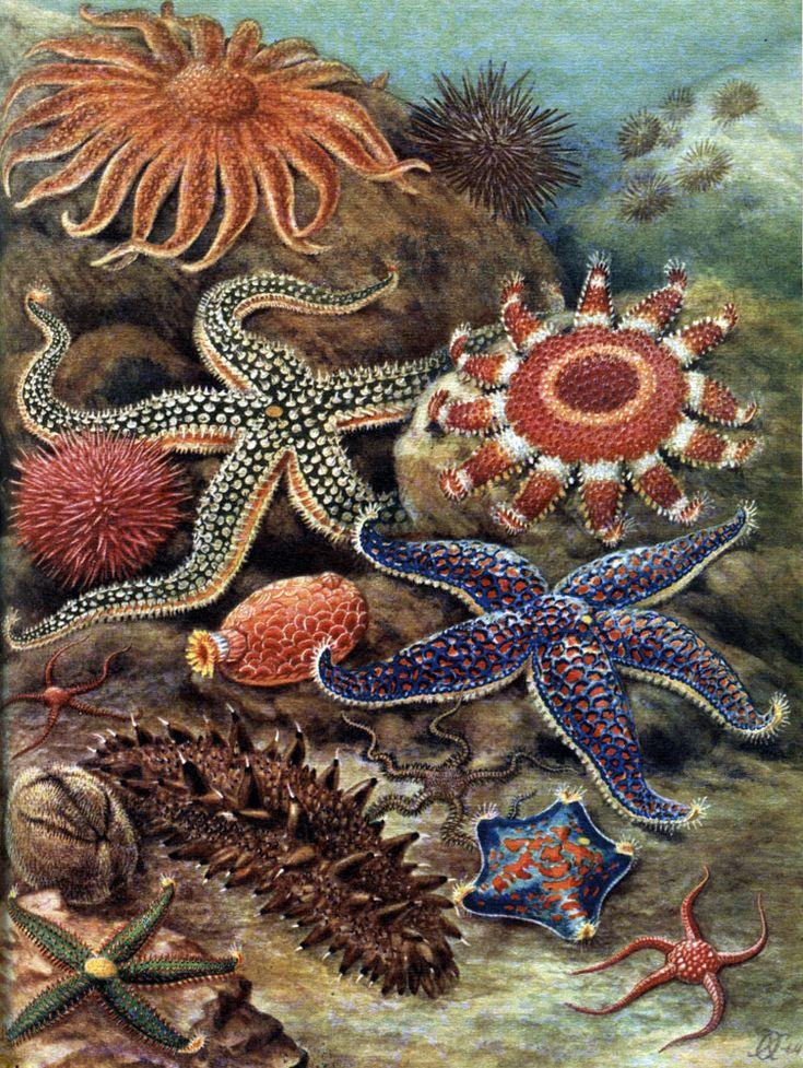 Таблица 25. Иглокожие северной части Тихого океана. Морские звезды: 1 - Pycnopodia heliantoides; 2 - Strongylocentrotus nudus; 3 - Crossaster papposus; 4 - Distolasterias nipon; 5 - Evasterias retifera; 6 - Patiria pectinifera. Офиуры: 7 - Strongylocentrotus purpuratus; 8 - Amphiodia rossica; 9 - Psolus chitonoides. Морские ежи: 10 - Ophiacantha bidentata; 11 - Brisaster townsendi; 12 - Stichopus japonicus. Голотурии: 13 - Astrometis sertulifera; 14 - Amphiophiura ponderosa