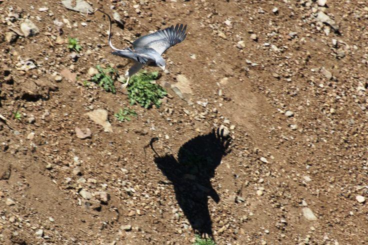 Aguilucho con culebra mordiéndole el ala