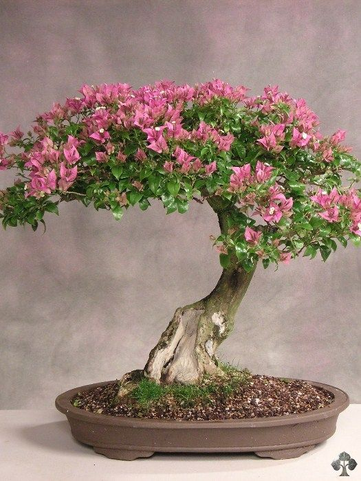 Care guide for the Bougainvillea Bonsai tree - Bonsai Empire