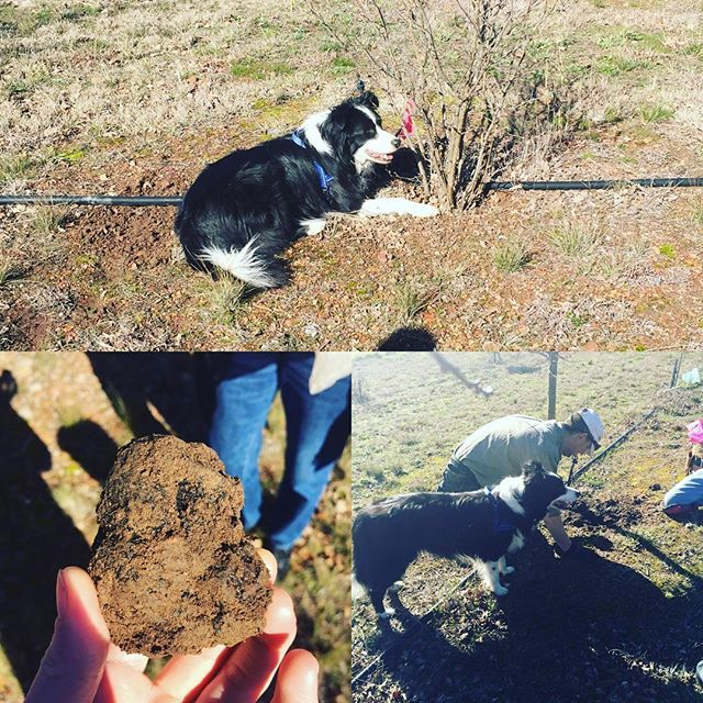 What else do you do on a lovely morning? The team at Pialligo went truffle hunting with @bluefrogtruffles We pulled out some of the last of the season. Thanks to Wayne, Colin, Justin for their help and support this season. Also, a great thanks to the tireless Leroy the Border Collie! #winter2016 #pialligoestate #pialligofarmhouse #visitcanberra #canberratruffles #canberra