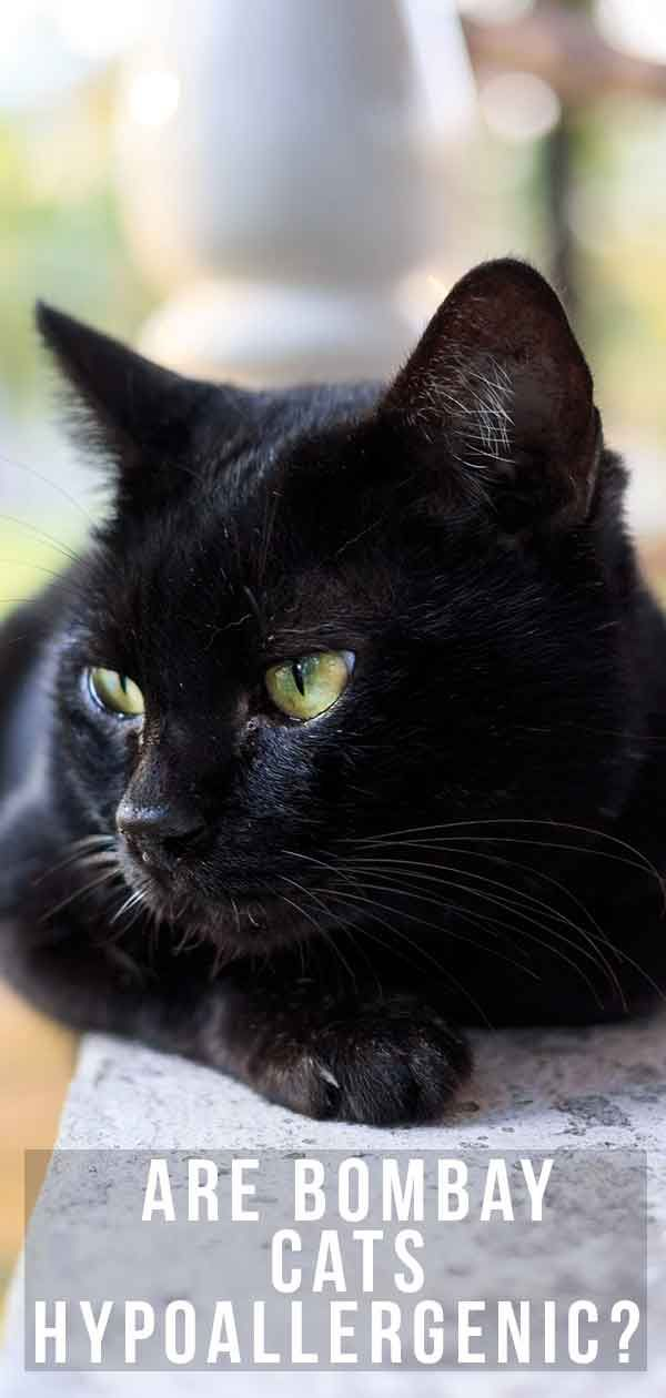 Are Bombay Cats Hypoallergenic Will They Shed Bombay Cat Cats Funny Cartoon Cats