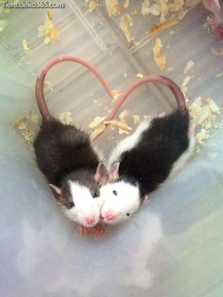 O melhor O rato engraçado do animal de estimação e gaiola   – Süße Tiere
