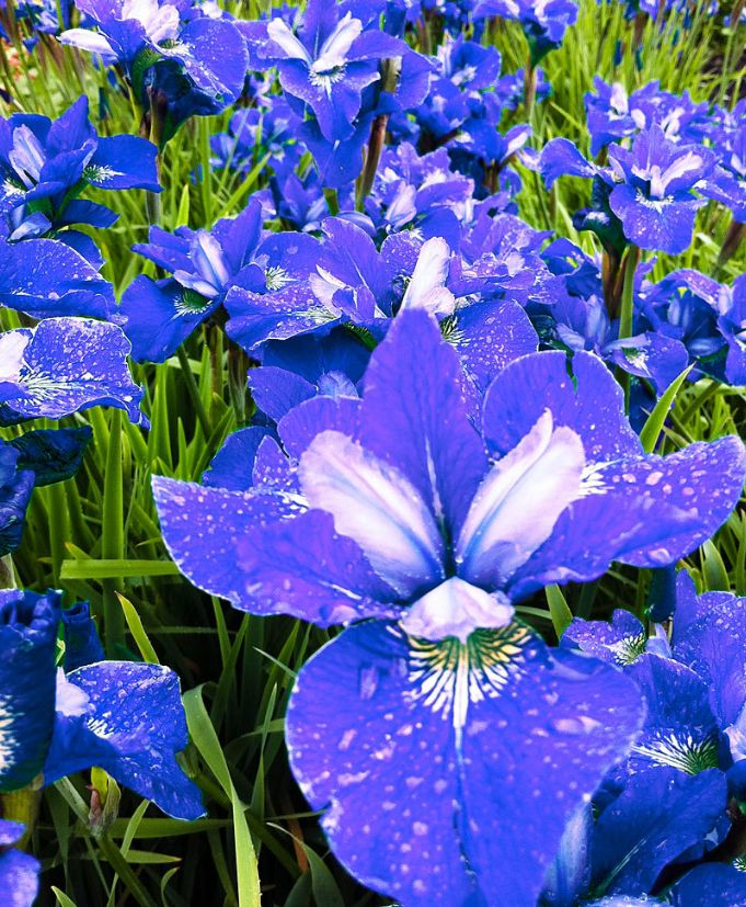 #iris #sibirica #bluebird #summer #estate #flowers #fiori #purple #viola