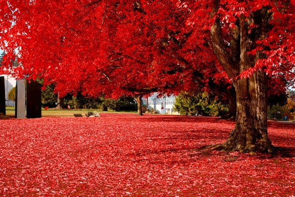 RED: Red, Nature, Tree, Color, Autumn, Beautiful, Fall, Place, Photo