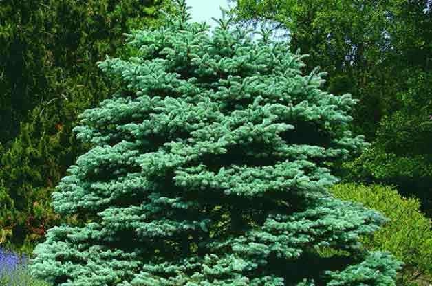 157 Best Images About Trees Conifers On Pinterest Sun