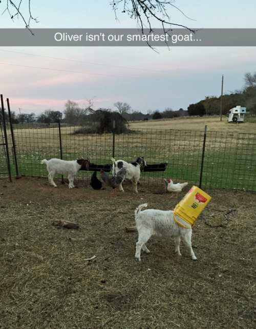 Oliver isn't our smartest goat... (Funny Animal Pictures) - #goat #smart