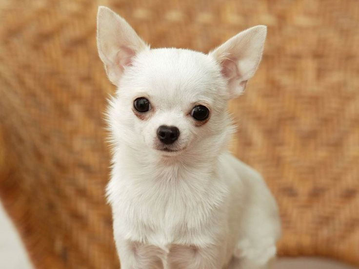 Types of Chihuahua Dog Mixes Breeds