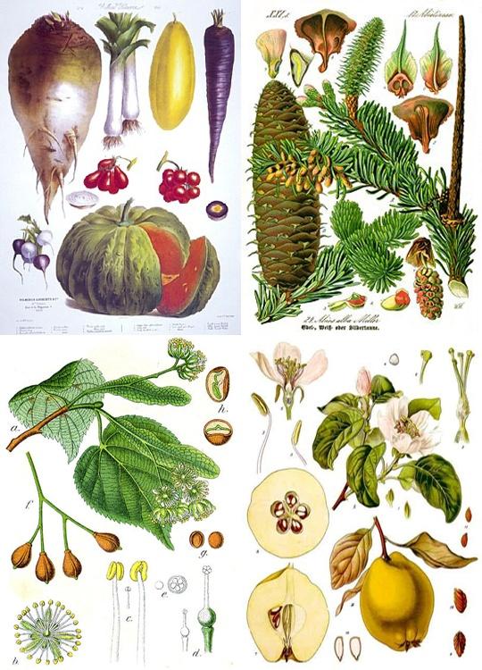 ...: Herbal Illustrations, Botanical Illustrations Jpg, Love Illustrations, Vintage Fruit