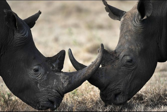 Some in South Africa argue that controlled hunting can make money that will help conserve the rhino, but killing rhinos to save them doesn't seem like an obvious solution to the poaching problem. Read More.