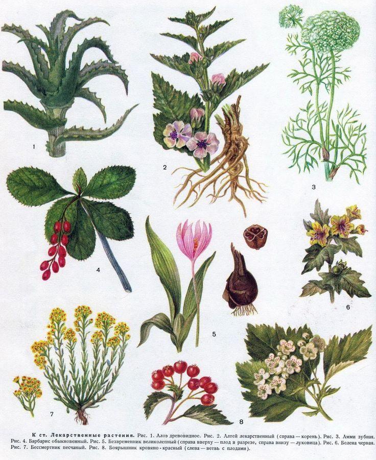 целебные травы в картинках с названиями вид