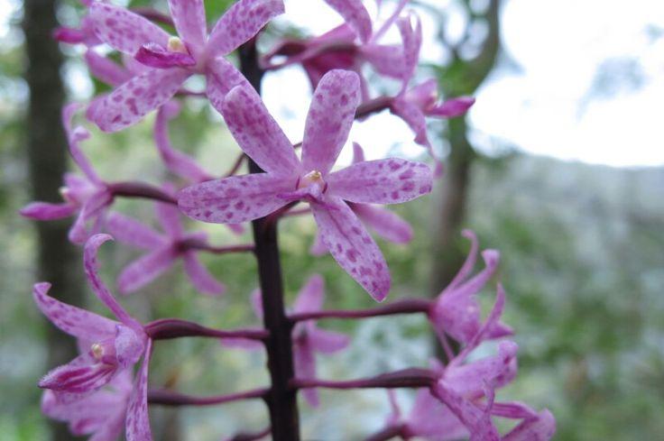 Rose hyacinth orchid - Bobbin Head NP