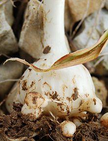 Plantas bulbosas - Wikipedia, la enciclopedia libre