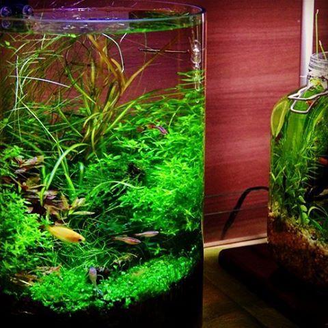 【sono_aqua_pfm】さんのInstagramをピンしています。 《新作『30cm cylinder-BAQ』水草植栽から約2カ月経過🙋🍀🎶フィルターもエアーレーションも炭酸ガス添加もありません🌴🌺魚が呼吸し二酸化炭素を吐き出す→水草が光合成で二酸化炭素を吸収し、酸素を供給→水草が育つ→底砂に根を張る→底砂に浄化バクテリアが繁殖し、水を浄化→《循環のループ続く》✨バランスドアクアリウム(水替えはします)😋✨ボトルの中に小さな自然を作り出す面白さ⭐🌏🌴🌺 #SONOアクアプランツファーム  #BottleAquarium #ボトルアクアリウム #水草 #aquaplants #aquarium  #aquaticplants #水草レイアウト#熱帯魚 #plants #テラリウム #アクアリウム #グリーン #インテリア #睡蓮  #ガーデニング #水族館 #メダカ鉢 #メダカ#ベタ #エアープランツ #テラリウム #グリーンのある暮らし #ミスト式 #未来屋沖縄イオンモールライカム店(展示中)》