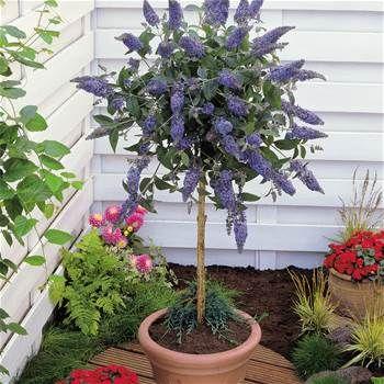 Vlinderstruik (Buddleja Davidii) op Stam - 1 boom kopen veilig online bestellen