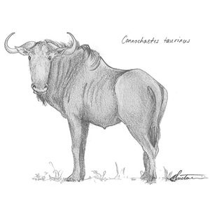#Blue #Wildebeest #animals #art #sketch #Africa #wildlife #drawing Take him home today! http://bit.ly/2aAy7sV