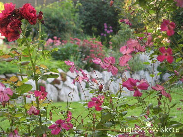Ogród w cieniu brzozy - strona 20 - Forum ogrodnicze - Ogrodowisko