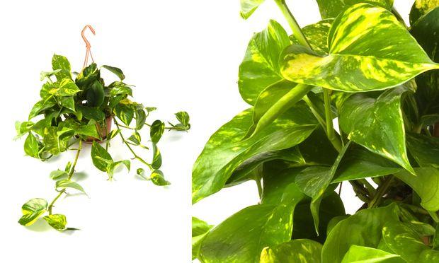 Jióia, remnum pinnatum, uma das poucas trepadeiras para ambientes internos, a Jiboia cresce apoiada a substratos, como xaxins ou outras plantas. Esta planta tem as folhas coloridas, mas se ficar somente na sombra, suas folhas serão pequenas e verdes. É exatamente sua coloração em tons de verde e amarelo que faz com que seja muito usada na decoração. A rega deve ser feita com frequência, para manter o substrato úmido.