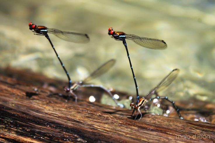 Dragonflies at HunNalYe, maybe too much love